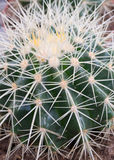 Cactus (visión cercana) Fotos de archivo libres de regalías