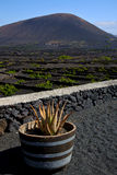 Cactus  viticulture  winery lanzarote spain Royalty Free Stock Photography