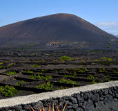 Cactus viticulture winery lanzarote spain. La geria vine grapes wall crops cultivation royalty free stock image