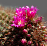 Cactus in vivid bloom Stock Photos