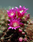 Cactus in vivid bloom Stock Image