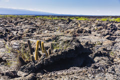 A Cactus in volcanic ground. At Isabela, Galapagos Royalty Free Stock Images