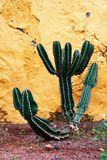 Cactus and wall Royalty Free Stock Photo