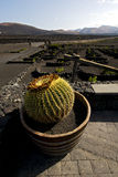Cactus wall grapes cultivation. Viticulture winery lanzarote spain la geria vine crops stock photography