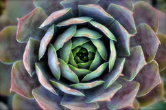 Cactus. That was shot from above to show the beautiful spiral effect royalty free stock photos