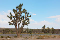 Cactus in western united statues. Cactus grows on the western united states Stock Image