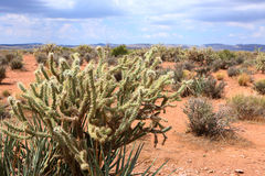 Cactus in western united statues Stock Images
