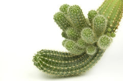 Cactus on white Stock Photo