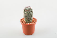 Cactus Royalty Free Stock Image