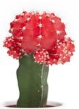 Cactus on a white background, gymnocalycium mihanovichii variegata Royalty Free Stock Photo