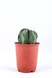 Cactus on white background Stock Photos