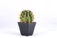 Cactus on white background Royalty Free Stock Photo
