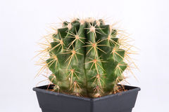 Cactus on white background Stock Image