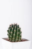 Cactus on white background Stock Photography