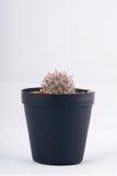 Cactus on white background Royalty Free Stock Photos