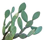 Cactus on white background Stock Images