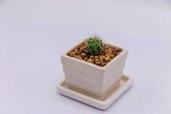 Cactus in white ceramic pot. On white background Royalty Free Stock Photo