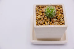 Cactus in white ceramic pot. On white background Stock Image