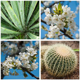 Cactus and white cherry blossoms Royalty Free Stock Photography