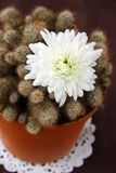 Cactus with white flower. On a brown background Stock Image