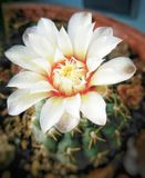 Cactus` white flower in a vase. Flowering of a cactus grown at home stock images