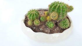 Cactus in white pot stock photo
