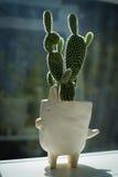Cactus with white pot Royalty Free Stock Photos