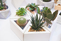 Cactus in white pot set; modern home decoration Stock Image