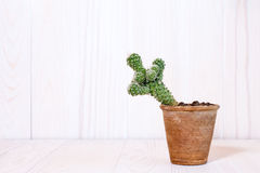 Cactus on white wooden background Royalty Free Stock Image