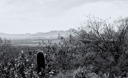 Cactus And Widflowers In Monochrome Royalty Free Stock Photo