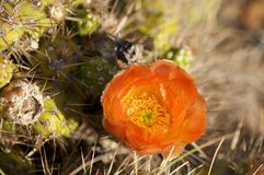 Cactus in wildness in America. Southern Argentina Royalty Free Stock Photography