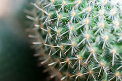 Free Cactus With Long Thorns Royalty Free Stock Photo - 32819685