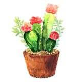 Cactus With Pink Flower, Succulent In Pod, Tropical Blossom Cactus Species, Flowering Green House Plant, Flowers Design Stock Image