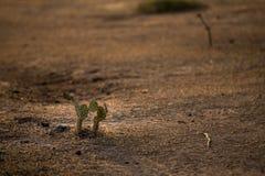 Cactus in woestijn royalty-vrije stock foto