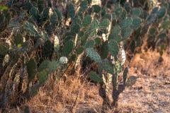 Cactus in woestijn royalty-vrije stock afbeelding