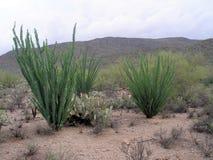 Cactus in woestijn Royalty-vrije Stock Foto's