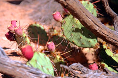 Cactus in woestijn Stock Afbeeldingen