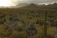 Cactus in woestijn de V.S. stock afbeeldingen