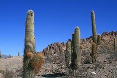 Cactus in Woestijnen Royalty-vrije Stock Foto