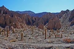 Cactus in Woestijnen Stock Foto's