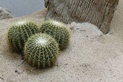 Cactus and wood in sand. Cactus and wood with sands royalty free stock photography