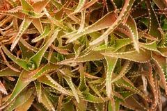 Cactus wood, surface texture Stock Photos