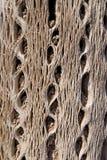 Cactus Wood Texture Stock Image