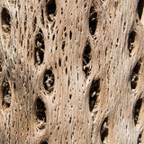 Cactus Wood Texture Royalty Free Stock Photos