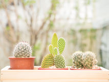 Cactus. In wooden tray for house decoration royalty free stock photography