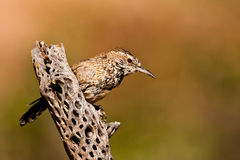 Cactus Wren Royalty Free Stock Photo