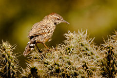Cactus Wren Stock Photography