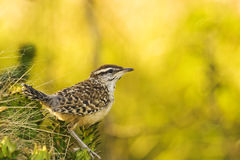 Cactus Wren. (Campylorhynchus brunneicapillus) perched on a prickly pear cactus.  Shot at Buchanan Dam, Texas Royalty Free Stock Photos