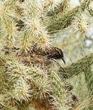 Cactus Wren Stock Image