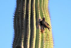 Cactus Wren. At home in a Saguaro Stock Photos